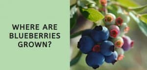 Where are Blueberries Grown