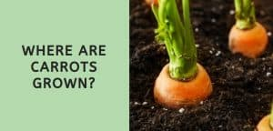 Where are Carrots Grown