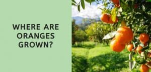 Where are Oranges Grown