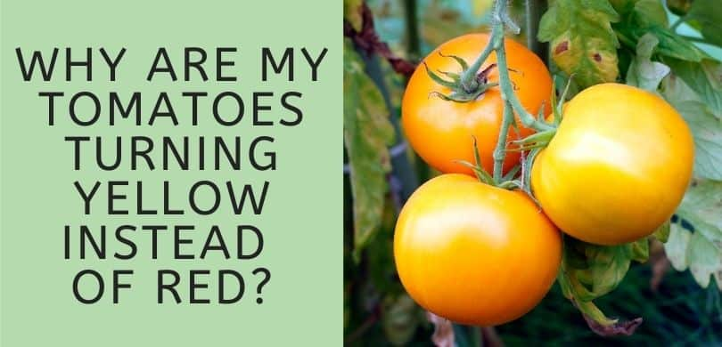 Why are My Tomatoes Turning Yellow Instead of Red