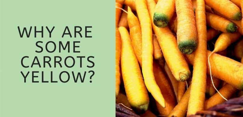 Why are Some Carrots Yellow