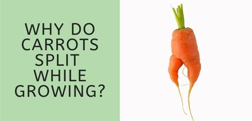 Why do Carrots Split While Growing