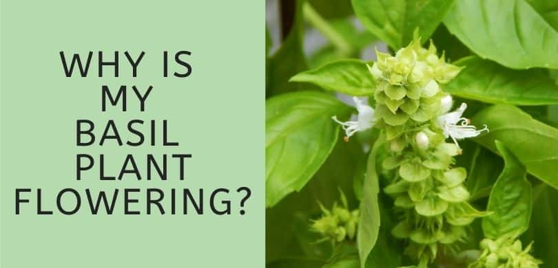 Why is My Basil Plant Flowering