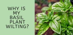 Why is My Basil Plant Wilting