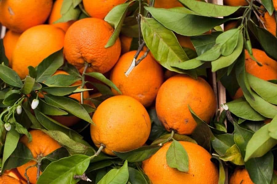 Oranges fresh harvest