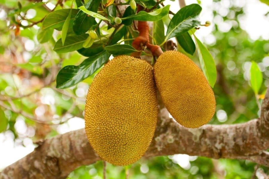 golden nugget jackfruit