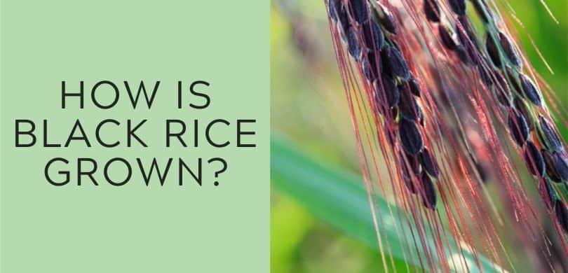 How is black rice grown?