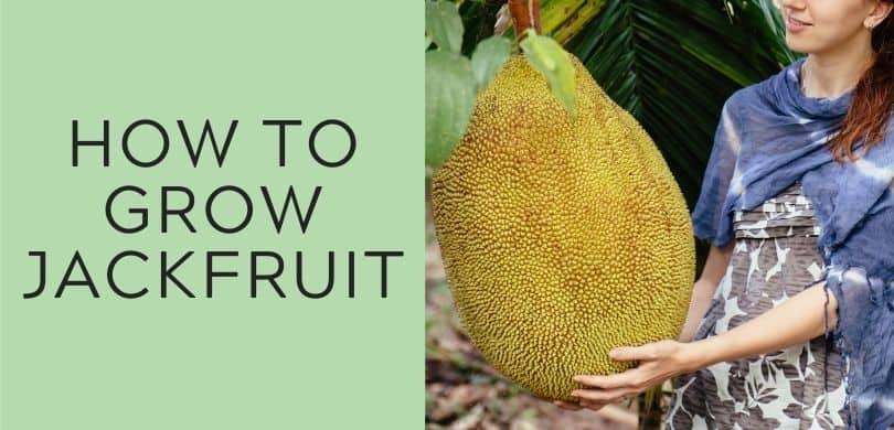 how to grow jackfruit