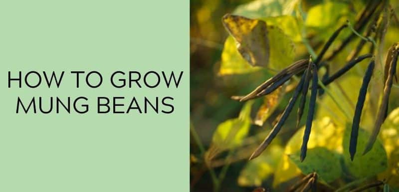 how to grow mung beans