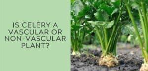 is celery a vascular or non-vascular plant