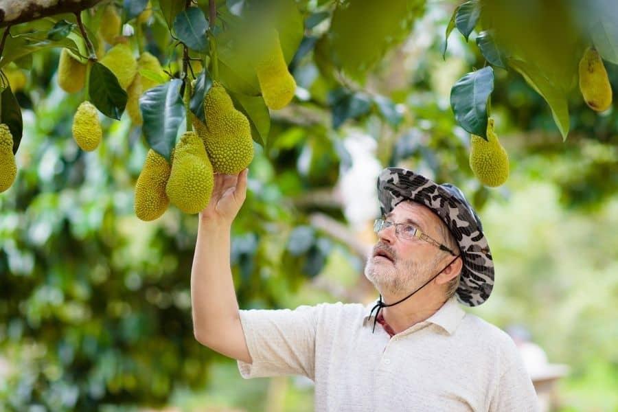 jackfruit farmer