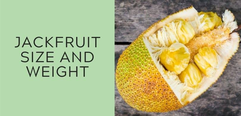 jackfruit size and weight