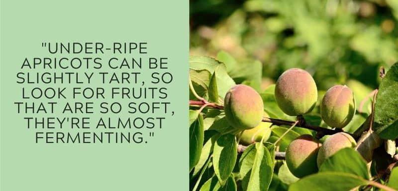 underripe apricots