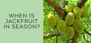 when is jackfruit in season