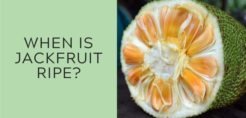 when is jackfruit ripe