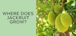 Where does jackfruit grow?