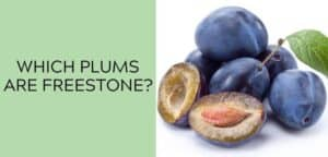 Which plums are freestone?