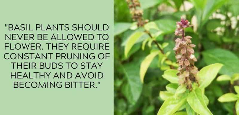 basil pruning