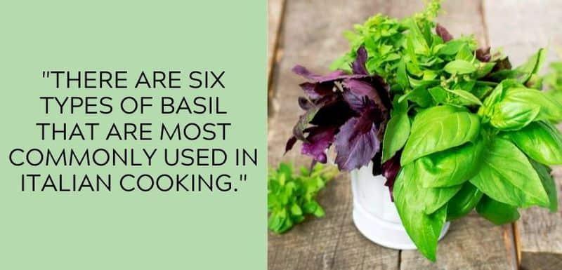 basil variety