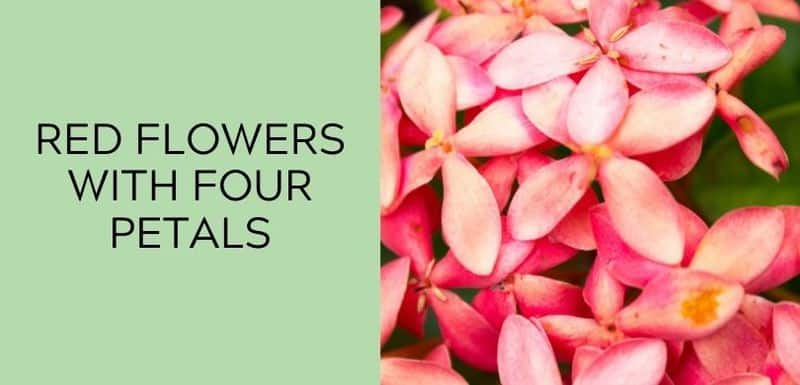 red flowers with four petals