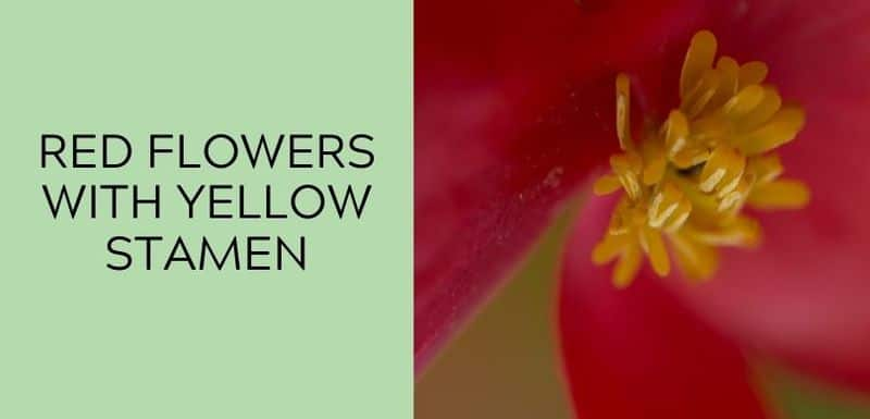 Red Flowers with Yellow Stamen