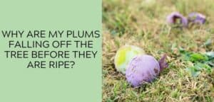 Why Do Plums Fall off The Tree Before They Are Ripe?