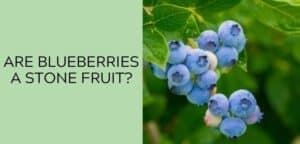 Are Blueberries a Stone Fruit?