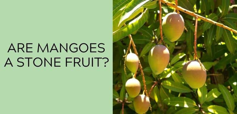 Are Mangoes a Stone Fruit?