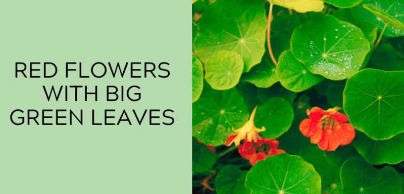 Red Flowers with Big Green Leaves