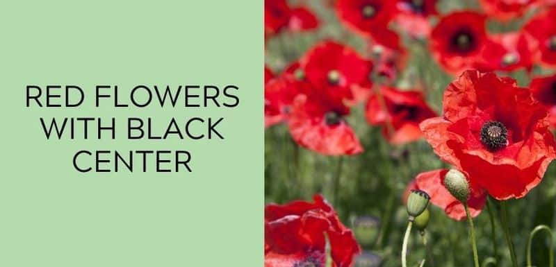 red flowers with black center