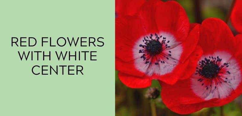 Red Flowers with White Center