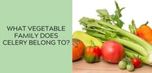 What Vegetable Family Does Celery Belong To?